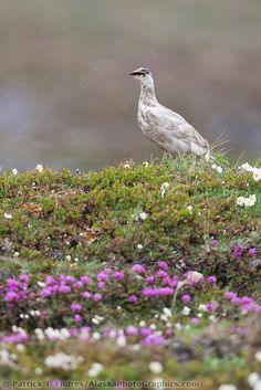 nunavut bird rock ptarmigan