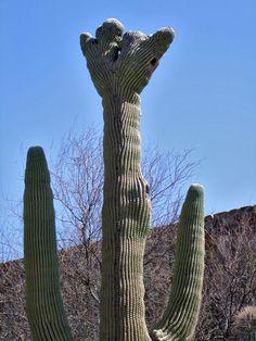 Cristate saguaro cactus, Sonora Desert Museum, AZ