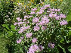 Bergamot Native Gardening – Plant Finder and Plant Lists | The Nature Conservancy