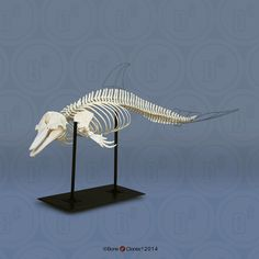 Articulated Atlantic Bottlenose Dolphin Skeleton - Bone Clones, Inc. - Osteological Reproductions