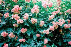 love beauty soul loves roses