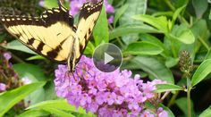 Butterfly gardens not only attract butterflies, they also offer beautiful flowers. Watch and learn the best butterfly garden plants for your butterfly garden, so you can enjoy butterfly gardening all summer long.