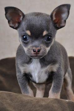 Au Coup de Patte - Chihuahua poils courts MINI bleu male