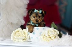♥♥♥ Teacup Yorkies! ♥♥♥ Bring This Perfect Baby Home Today! Call 954-353-7864 www.TeacupPuppiesStore.com <3 <3 <3 TeacupPuppiesStore - Teacup Puppies Store Tea Cup Puppies Store - TeacupPuppiesStore.com