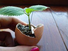 far crescere piccole piante nei gusci delle uova