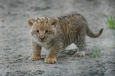 Cute little liliger from Novosibirsk zoo
