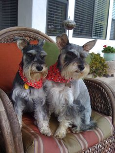 Reminds me so much of Major and Misty, our Mini Schnauzers growing up