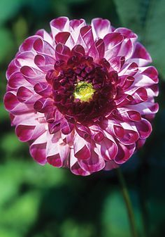 Dahlia 'Red Kaiser Wilhelm' - Heirloom Dahlia that is extremely rare, circa 1881.