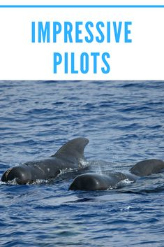 """""""They're like the cheetahs of the ocean.""""  #hawaii #adventure #travel"""