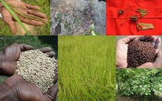 Medicinal Rice based Tribal Medicines for Diabetes Complications and Metabolic Disorders (TH Group-751) from Pankaj Oudhia's Medicinal Plant Database. Encyclopedia of Tribal Medicines by Pankaj Oudhia. #TribalMedicines