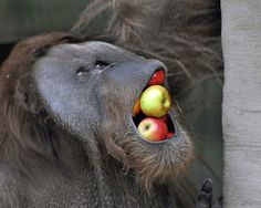 This Orangutan at Moscow Zoo gets his five a day. . A lot of the Animals in the Zoo are given apples and the Orangutans have found different ways of playing with them. On this occasion one of the Orangutans had his mouth crammed full of fruit and it made a funny shot