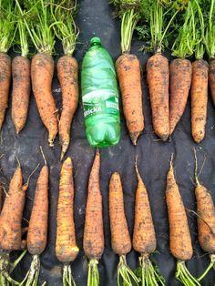 Vegetable Garden, Carrots, Diy Home Decor, Vegetables, Flowers, Outdoor, Gardening, Food, Garden