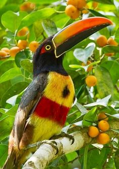Fiery-billed Aracari: Pacific slopes of Costa Rica & PA. www.Facebook.com/
