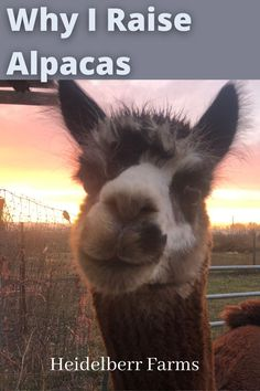 There are so many reasons to consider (or NOT consider) raising alpacas. This list is nowhere near exhaustive. In fact, I think of more reasons every day. But until then, here are just a few of the reasons why alpacas have found a home here at Heidelberr Farms. #alpacas #whyalpacas #fiberanimals #fiberfarm #alpacafarm Raising Farm Animals, Raising Chickens, Homestead Farm, Farms Living, Alpacas, Livestock, Farm Life, Cattle, Homesteading
