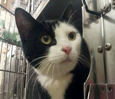 TO BE DESTROYED 11/14/14 * PRETTY, SWEET TUXIE! Manhattan Center * Beginner Chacha interacts with the Assessor, solicits attention, is easy to handle and tolerates all petting. *  My name is CHACHA. My Animal ID # is A1019195. I am a spayed female black and white domestic sh mix. The shelter thinks I am about 5.  OWNER SUR on 10/30/2014 from NY 10473, MOVE2PRIVA.