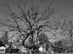 The elusive Old Oak of Basking Ridge is still around to celebrate another Arbor Day.