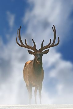 Bull Elk   ...........click here to find out more     http://googydog.com