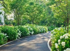 Driveway Landscaping Ideas. Annabelle Hydrangeas and Zelkovas planted along the driveway making the driveway recede and emphasizing a garden feel to an otherwise functional space. Favorite.