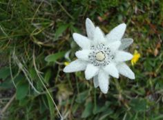 edelweiss flower legend - Google Search
