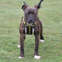 Pippa the SBT Crossbreed puppy at Dogs Trust Leeds is looking for her forever home!  #puppymonday #puppy #cute #love #staffordshirebullterrier #staffy #SBT #crossbreed #puppylove #lovepuppies #puppylife #puppyoftheday #instapuppy #puppiesofinstagram #rehome #rescue #rehoming #rescuedog #Monday #foreverhome