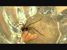 Gerard the Grass Spider Eating Some Turkey