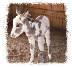Miniature Appaloosa Donkey