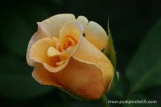 Rose Of The Year 2015, Rosa 'Sunny Sky' (Koraruli) was awarded the coveted accolade of Rose Of The Year 2016. Rosa 'Sunny Sky' has pretty rosebuds that are delicately scrolled.