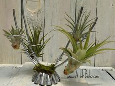 Industrial Tillandsia plant holder made from 9 gauge and 16 gauge steel.  The base is a repurposed tin muffin cup.  Handmade.