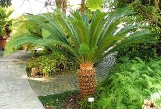 Poisonous Plants to Dogs and Cats: Toxic Flowers Can Kill Your Pet Small Palm Trees, Small Palms, Mexican Palm Tree, Ponytail Palm Tree, Palm Tree Types, Indoor Palms, Cat Safe Plants, Pet Care, Gardens