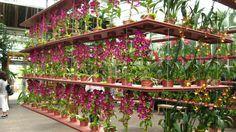 Hanging Shelves of Orchids @ Atlanta Botanical Garden