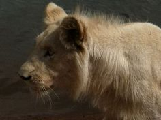 Walk with the Lions at Ukutula Park - South Africa    http://imoveismlara.wordpress.com/ http://www.marcelolara.com.br