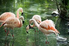 Dublin Zoo flamingos
