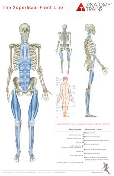 Anatomy Trains 3rd Edition Posters are an essential visual reference to all 12 myofascial meridians laid out in Tom Myers' classic book, Anatomy Trains.