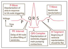 Components of the ECG Strip A cardiac cycle, or one heartbeat, is represented on the ECG as one PQRST sequence. Between cardiac cycles the ECG recorder returns to the isoelectric line (the flat line on the ECG strip during… Nursing Cheat Sheet, Nursing Tips, Medical Surgical Nursing, Cardiac Nursing, Cardiac Cycle, Ekg Interpretation, Ecg, Nursing School Notes, Nursing Schools