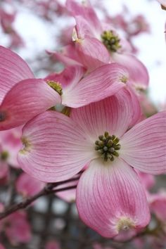 85 best georgia images on pinterest in 2018 dogwood trees dogwood but the traditional white dogwood still has my heart especially when grown under a tree canopy where it looks like lace through the trees mightylinksfo