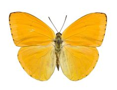 Seeing ultraviolet! Many insects have photoreceptors in their eyes that detect ultraviolet. Flowers can send secret signals, with ultraviolet nectar guides that show butterflies where to feed. This is an Apricot male sulphur butterfy, Phoebis argante, from Paraguay in South America. See it on Level 3 of our Natural World gallery at the National Museum of Scotland.