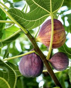Select your own Fig Trees today! Black Mission Fig, Fig Tree For Sale, Growing Fig Trees, Fig Varieties, Clematis Trellis, Garden Animals, Dried Figs, Garden Trees, Container Gardening