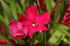 Nerium oleander 'Italia' - Apocynaceae - Laurier-rose