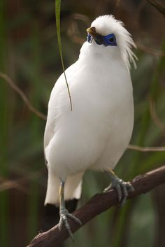Bali Starling (Leucopsar rothschildi) Photo by jcozannet on Flickr