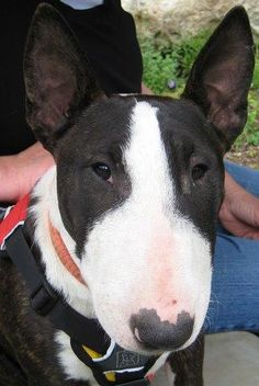 Bull Terrier cuteness!  This almost looks like our girl Izzy