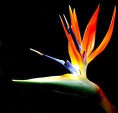 Flowers bird of paradise
