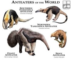 Anteaters of the World...ROGER D HALL