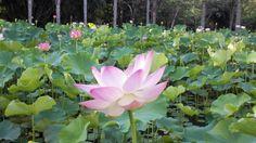 Pink lotus, Mauritius botanical garden.