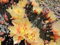 2015 - Prickly Pear blooms at Big Bend Ranch State Park in west Texas