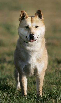 """Korean Jindo dog- I really want one! If i get one I'm naming him/her gaegogi! (dog meat in Korean) everyone in the states will ask me what the dogs name mean and i will give a blank stare and say """"dog meat"""" then walk away. Cute Puppies, Dogs And Puppies, Doggies, Unusual Dog Breeds, Dog Breeds List, Spitz Dogs, Purebred Dogs, Different Dogs, Puppy Care"""