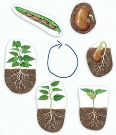 Good Morning Show!: Life cycle of a bean plant Good Morning Show!: Life cycle of a bean plant Preschool Science, Teaching Science, Science Activities, Science Projects, Activities For Kids, Art For Kids, Crafts For Kids, La Germination, Planting For Kids