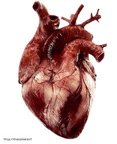 Organ heart facts