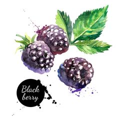 Hand drawn watercolor painting blackberry on white background. Vector illustration of berries - stock vector Watercolor Fruit, Watercolor Images, Watercolor Pencils, Watercolor Paintings, Watercolors, Fruits Images, Photo Images, Free Art Prints, Stock Foto