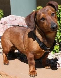 Petango.com – Meet Scooter, a 8 years 9 months Dachshund, Standard Smooth Haired / Mix available for adoption in GILBERT, AZ