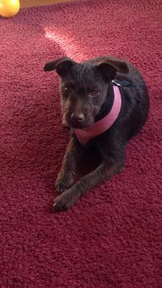 Bella, My Patterdale Terrier Puppy at 23 weeks
